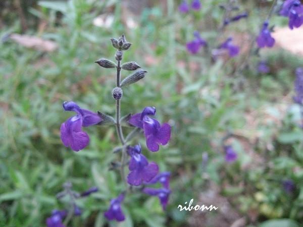 色鮮やかにブルーの花