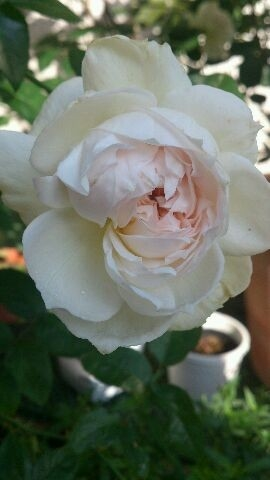 10月の庭 薔薇の仕立てって・・?