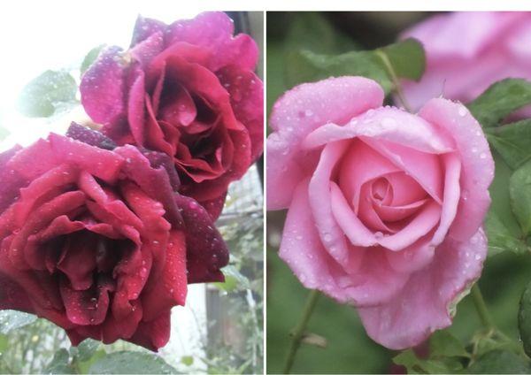 今朝の薔薇から2