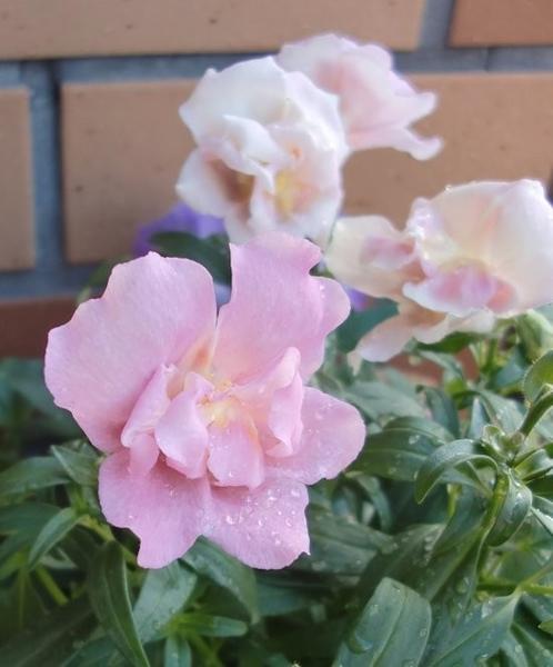 寄せ植えの中の優しいお花たち