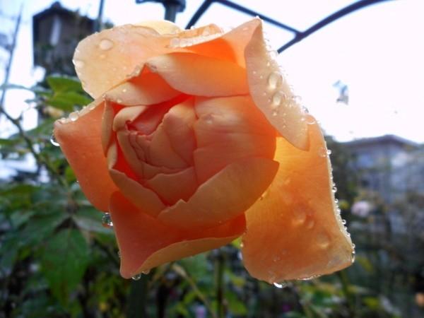 今日の薔薇③