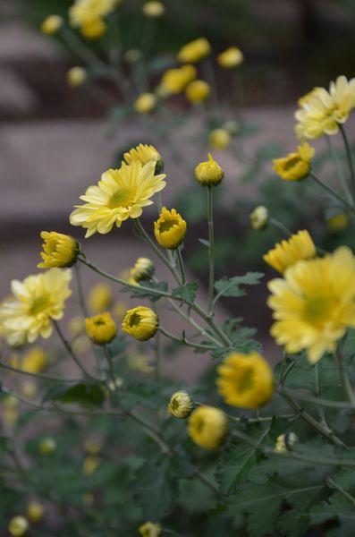 レモンイエローな菊でした