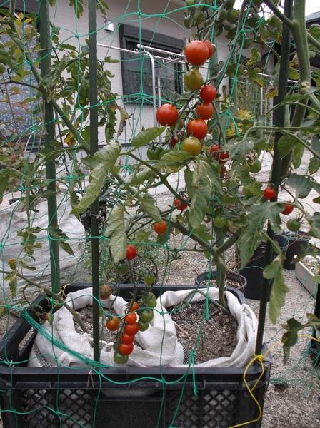 秋トマトに秋ナス