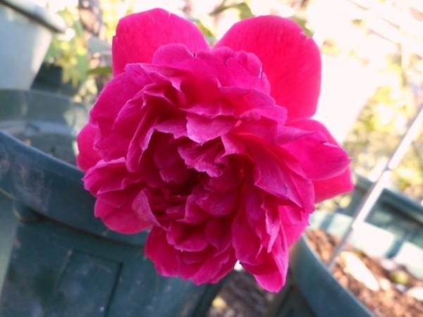 、今日の薔薇①