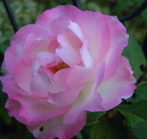 今日の庭花・・・・