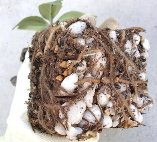 種まきからの'絹'植え替え