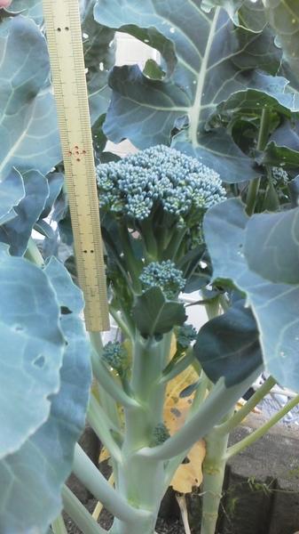 初ブロッコリーとアイスバーグの挿し枝
