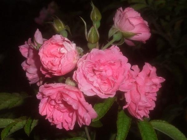 出勤前の今朝のバラ