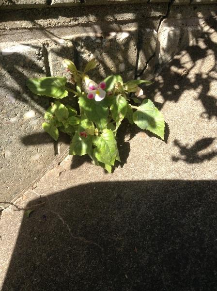 チョコざいなやつ!   Part16      ど根性の花!