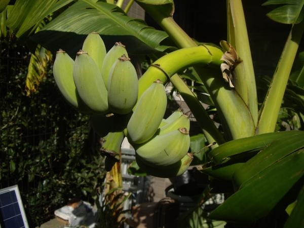 ナムワバナナ 収穫[i:158]
