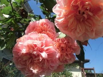 今日の秋薔薇1