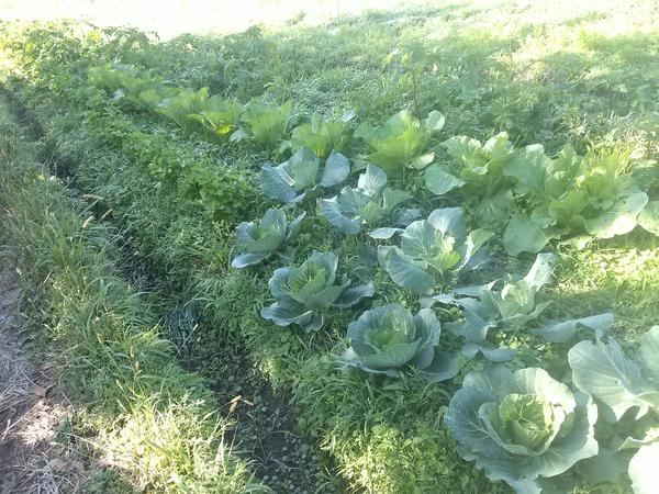 冬の野菜畑