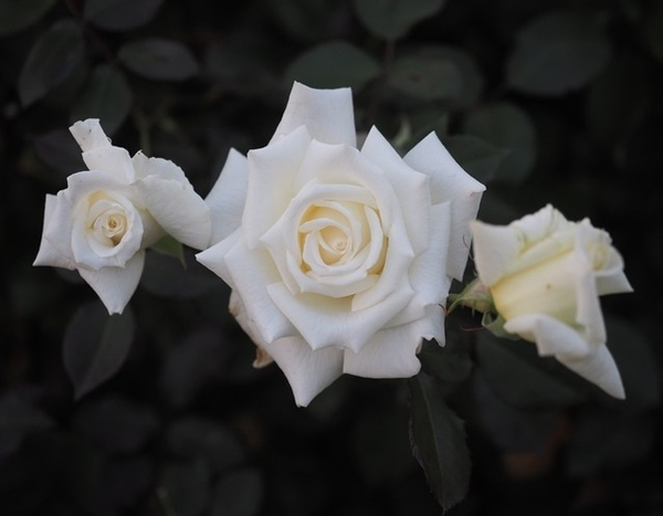 ヨハネ・パウロ2世,優秀な白バラです。