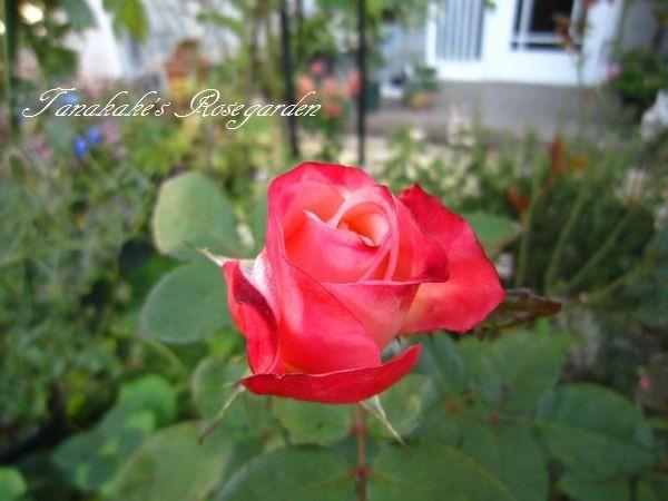 今日のバラ様と、ダンナのお土産
