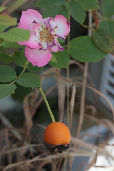 種子ではなく果実。果実ではなく「がく筒」