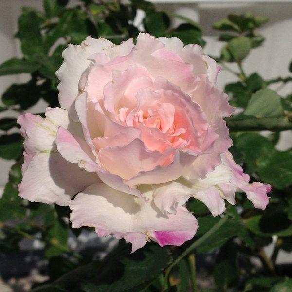 今日の薔薇・ベランダ編2⃣!