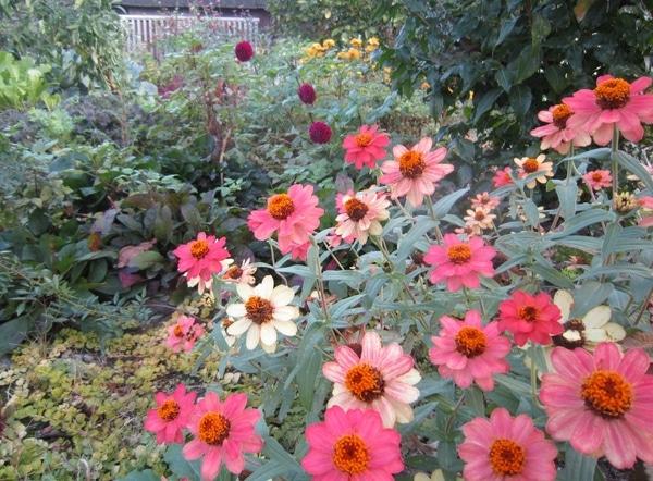 ジニアなどなど・・・深まる秋