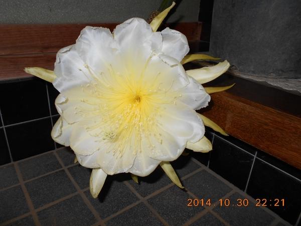 ドラゴンフルーツ初めての開花
