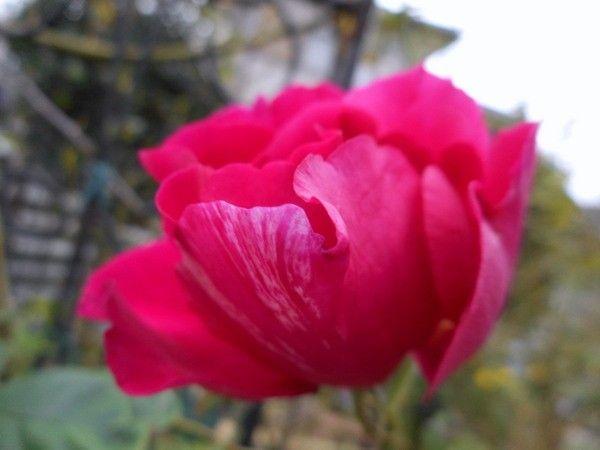 今日の薔薇①