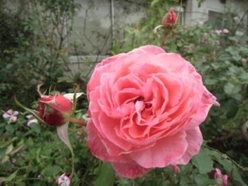今日の薔薇2と作業