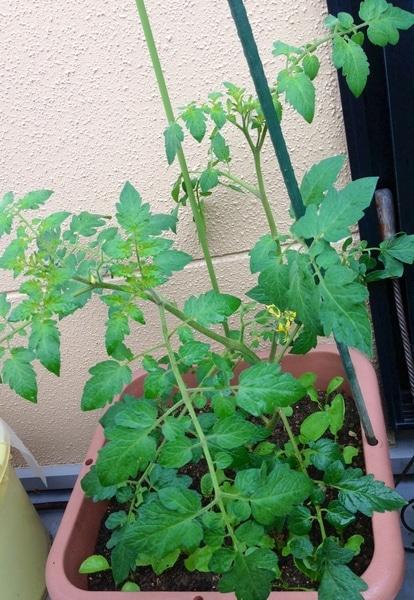 こぼれ種ミニトマト