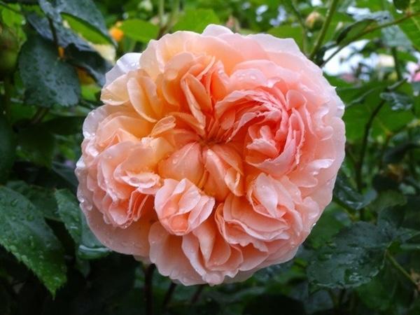 雨に濡れた今朝のバラ①