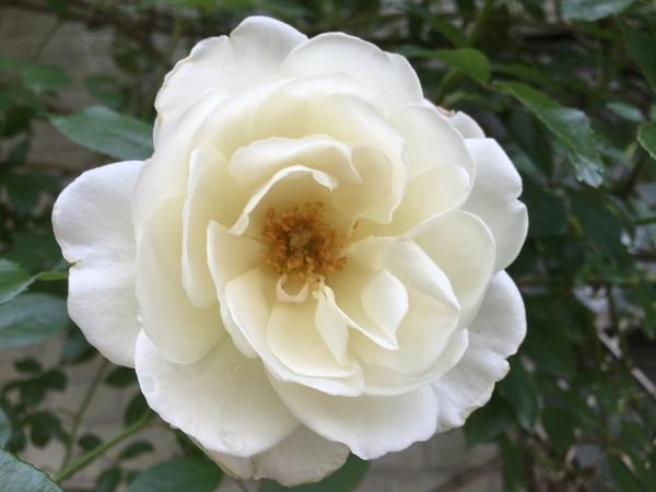 バラが開花中