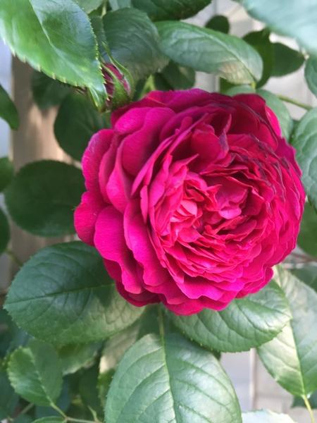 日陰のバラ