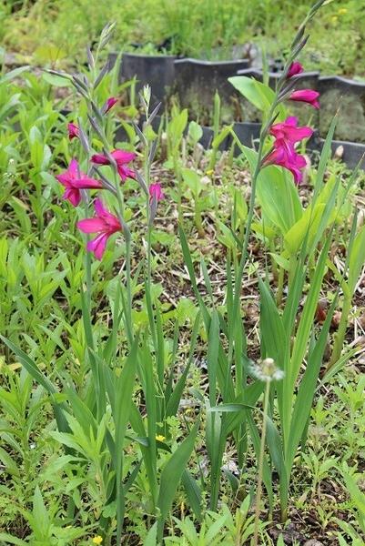 ?の花とジキタリス