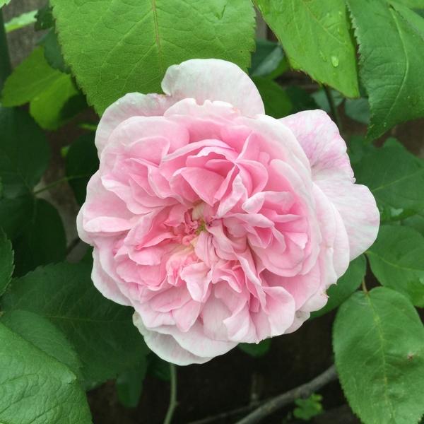雨の止み間、ピンクのバラ