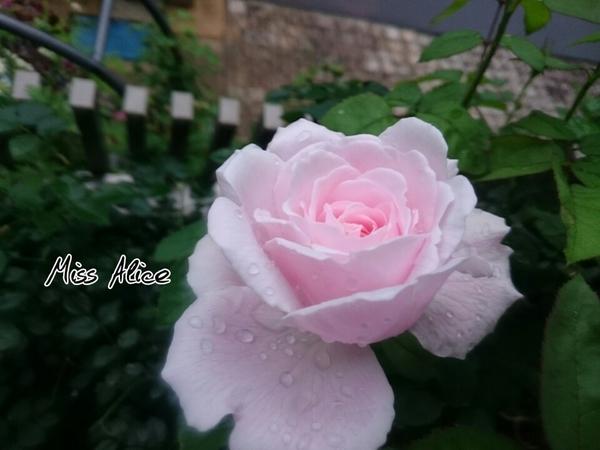 ミスアリス、咲きました♪