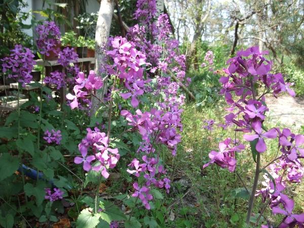藪に咲くルナリア