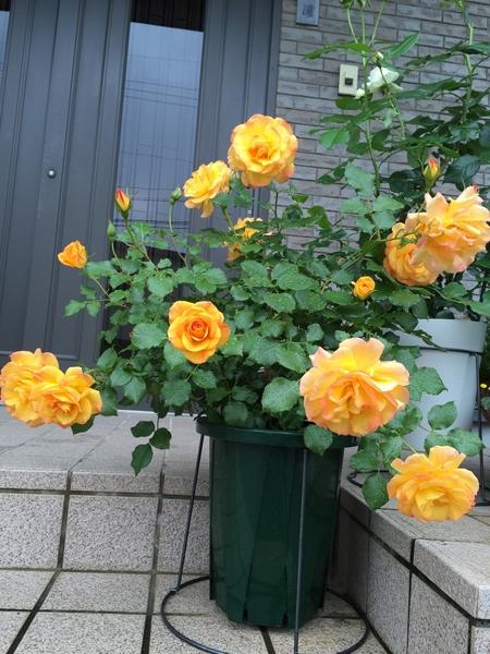 薔薇、揃い踏み