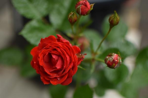 📍無名の薔薇