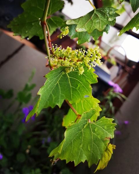 山葡萄、花咲く