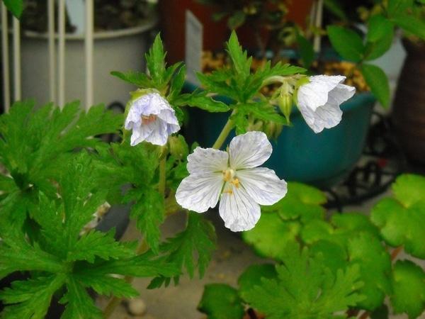 クレマチス以外のお花