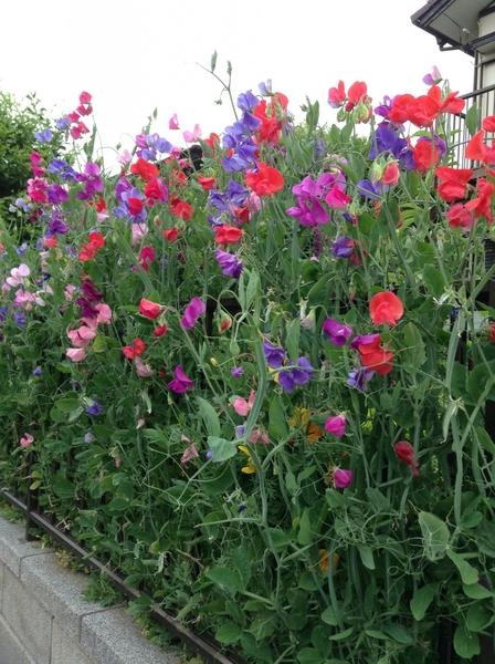 お散歩で綺麗なお花に会えました!