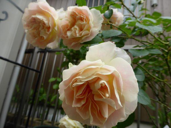 雨に濡れたバラ。