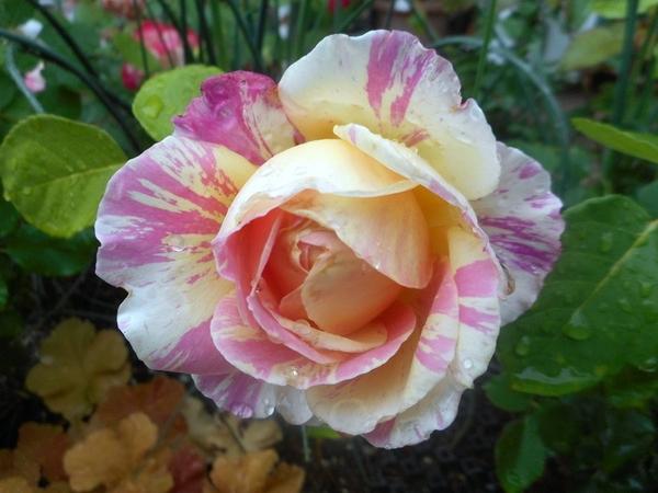今日の薔薇(^^♪①