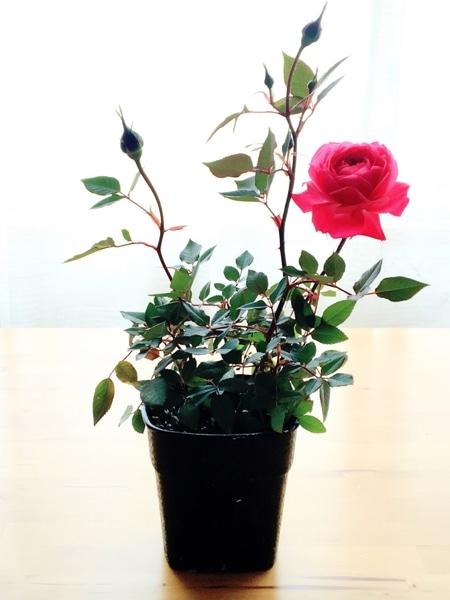 薔薇の写真をあげたかった(真似っこ)