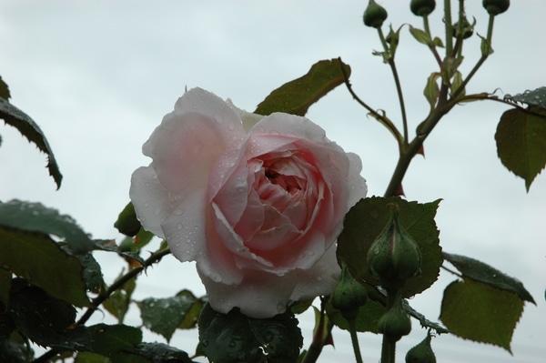 雨雨雨そしてバラ