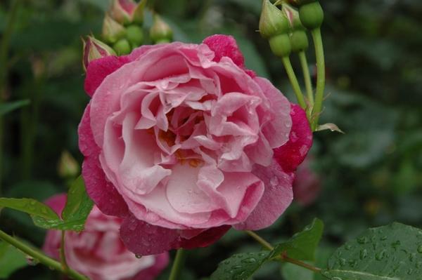 雨雨雨そしてバラ 4