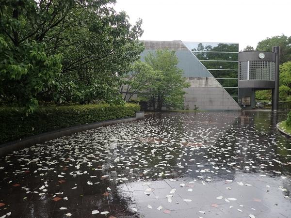 雨雨ふれふれ苞も降れ―ハンカチノキ