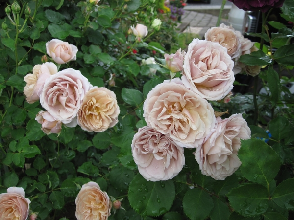 今日の薔薇(いおり・夢想・ピエール)