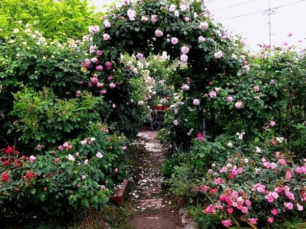 雨上がりのバラの庭①