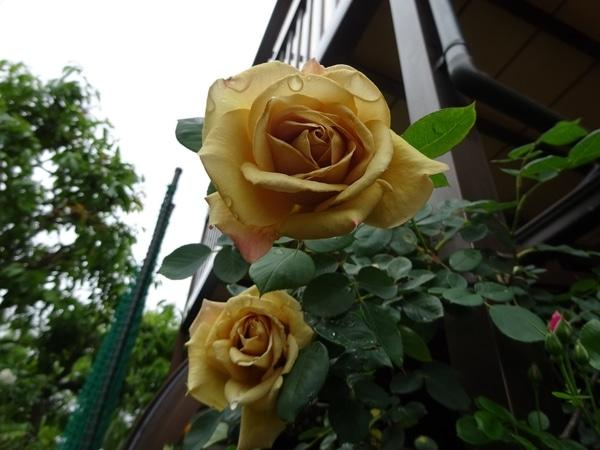 友達のバラ
