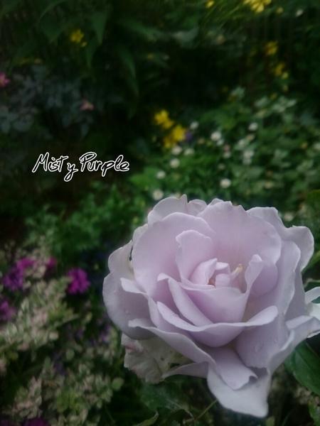 ミスティパープル、咲きました♪