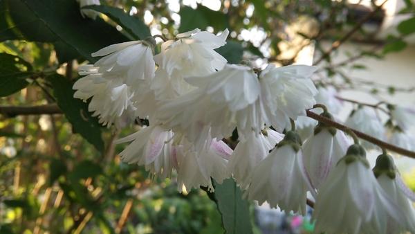卯の花(ウツギ)二、三分咲き