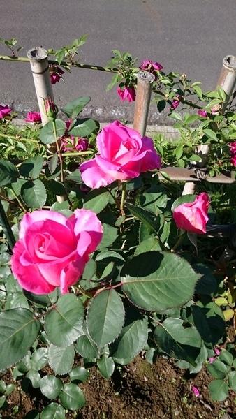 20160512今日の庭