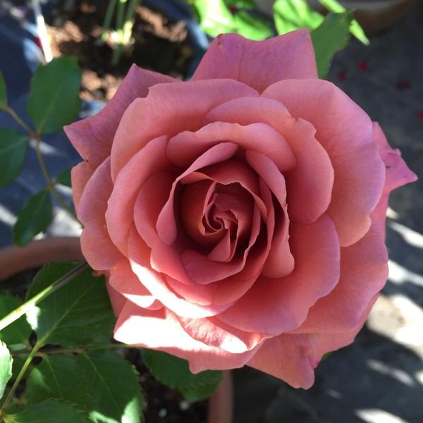 このバラの名前知りませんか?